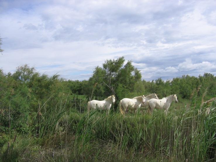 """""""Wild"""" Camargue Horses"""