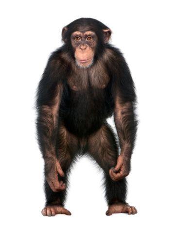 chimpstanding