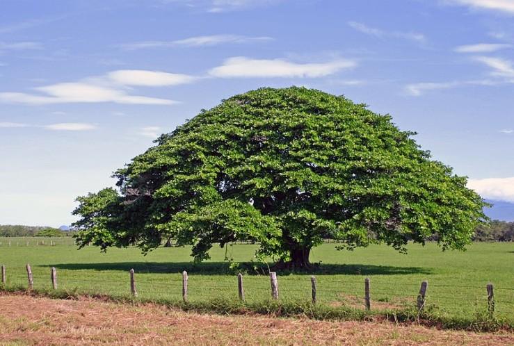 Chilamate Tree