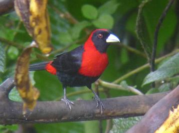 Collared Tanager