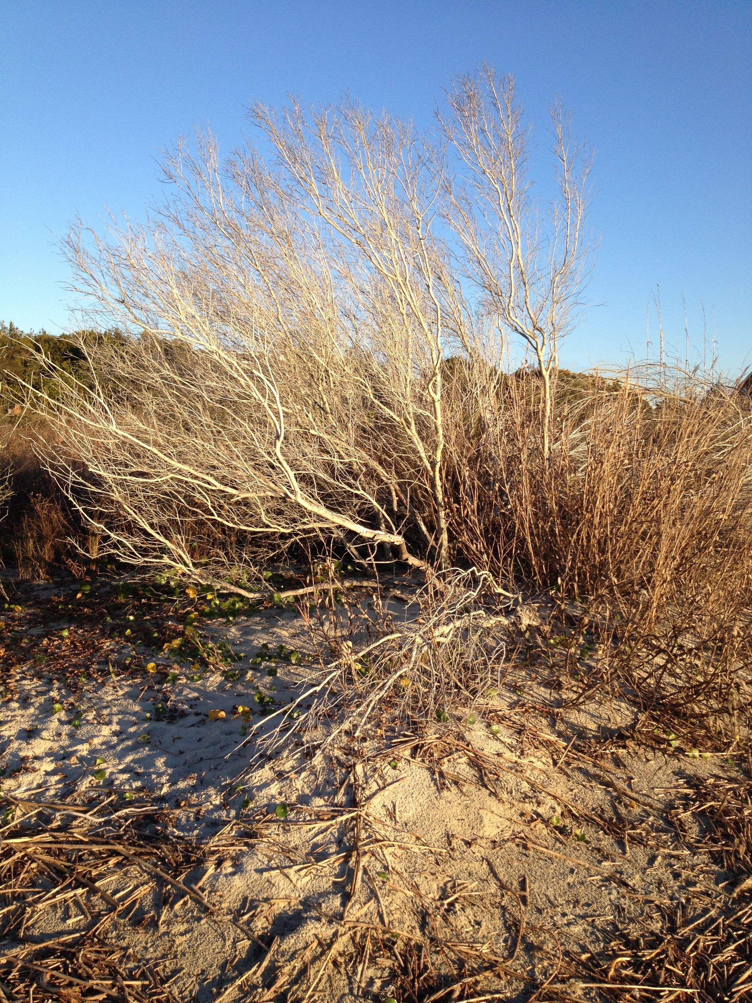 Beach Bush, Sullivan's Island